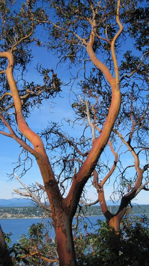 Twin Madrone Trees